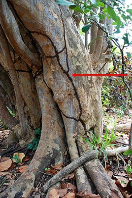 Tunnel_on_sea_grape_tree_arrow Conehead Termites